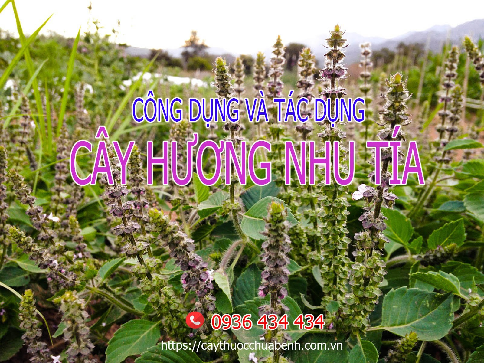 Công dụng và tác dụng của cây Hương Nhu
