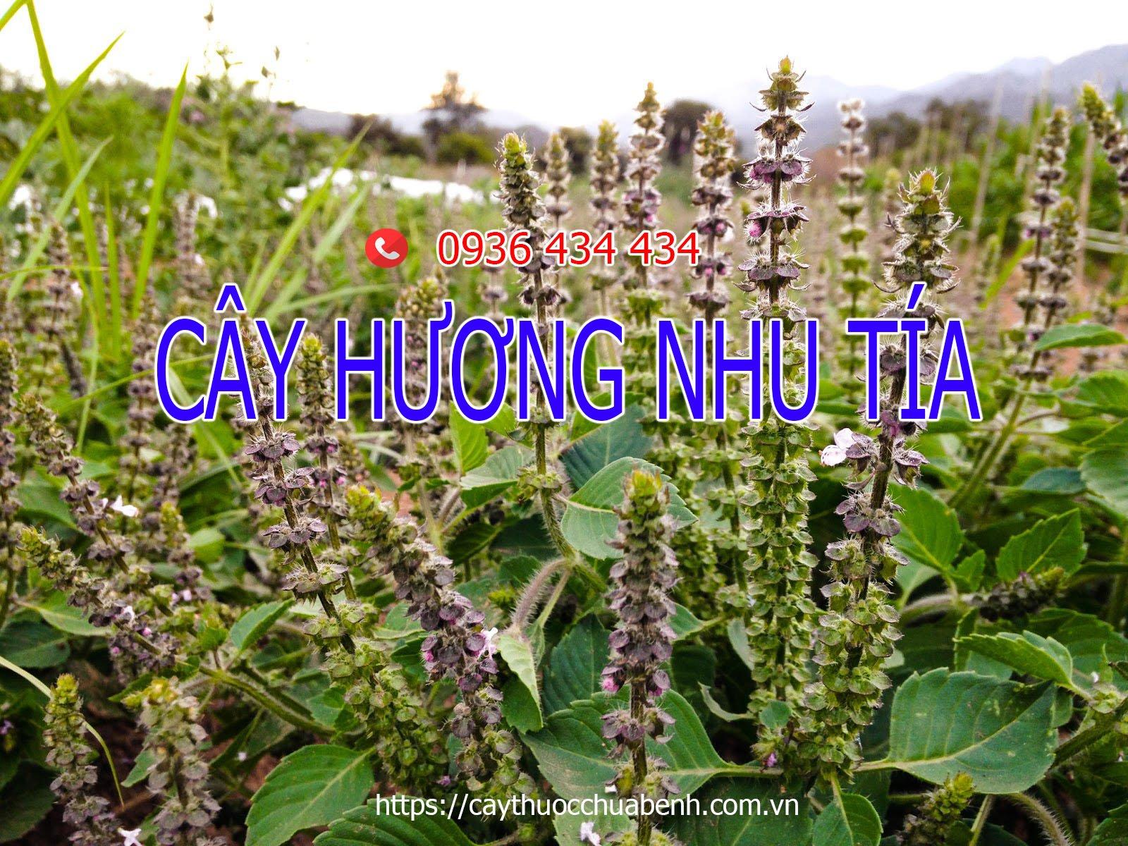 Cây Hương Nhu tía