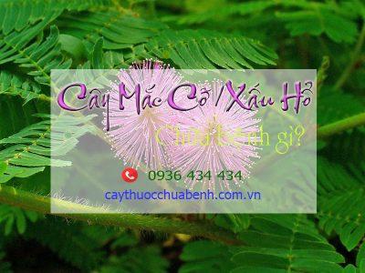 CAY MAC CO CHUA BENH GI
