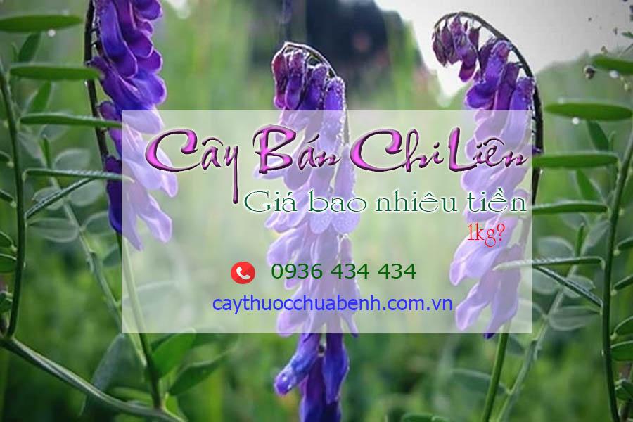 CAY BAN CHI LIEN BAO NHIEU TIEN 1KG