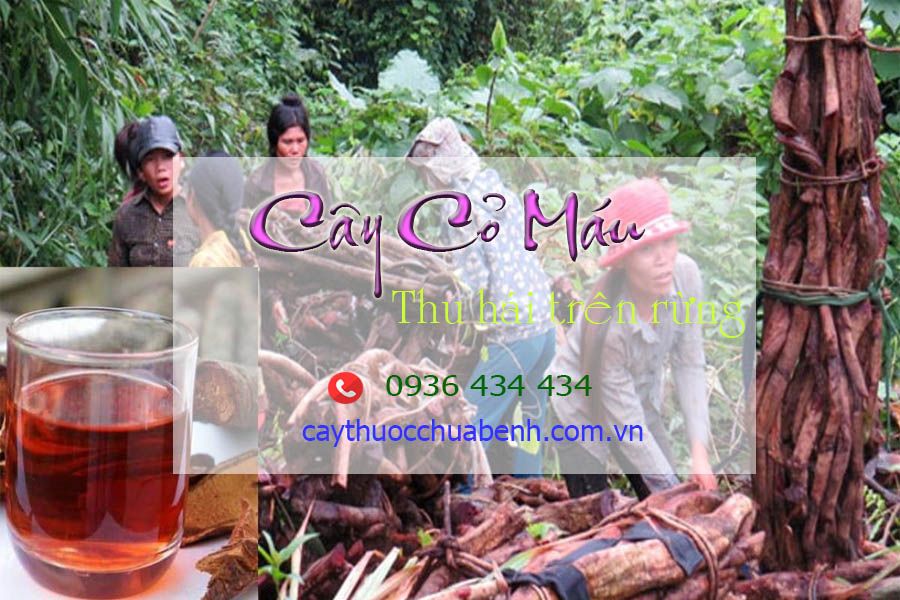 THU HAI CAY CO MAU