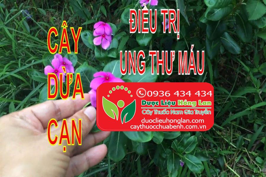 CAY DUA CAN CHUA BENH UNG THU MAU