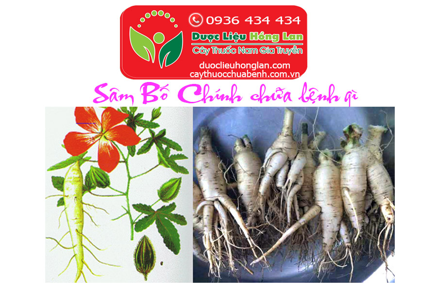 SAM_BO_CHINH_CHUA_BENH_GI_DUOC_LIEU_HONG_LAN