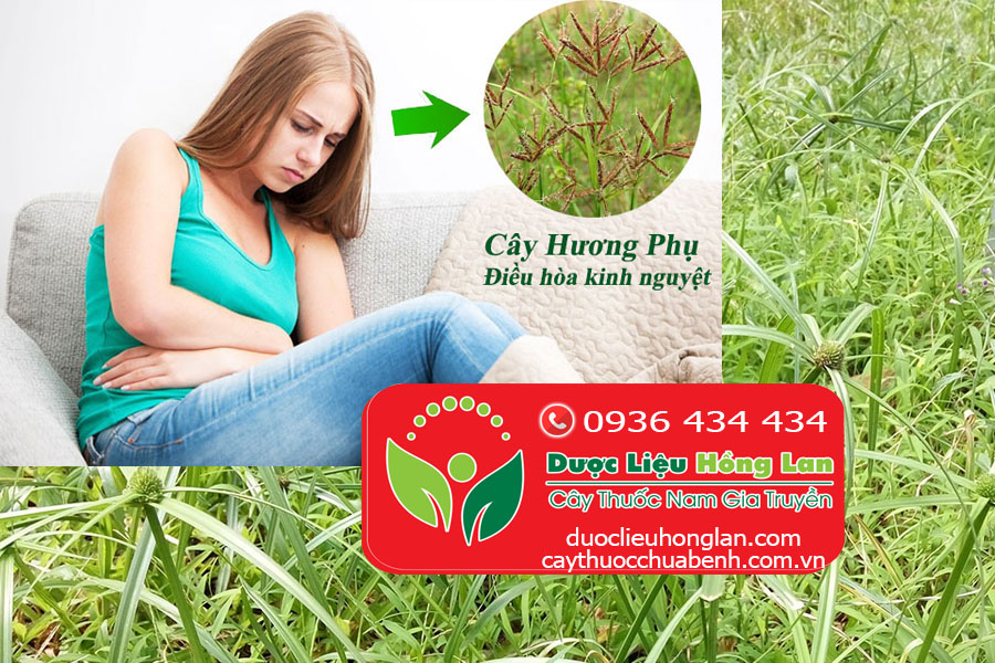 CAY-CO-GAU-HUONG-PHU-DIEU-HOA-KINH-NGUYET-CTY-DUOC-LIEU-HONG-LAN