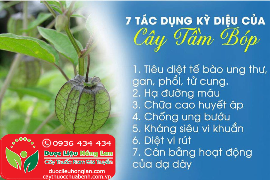 CONG-DUNG-TAC-DUNG-CHUA-BENH-CUA-CAY-TAM-BOP-THU-LU-CTY-DUOC-LIEU-HONG-LAN