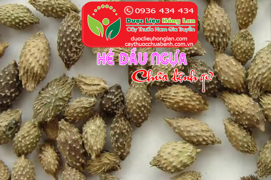 KE-DAU-NGUA-CHUA-BENH-GI-CTY-DUOC-LIEU-HONG-LAN