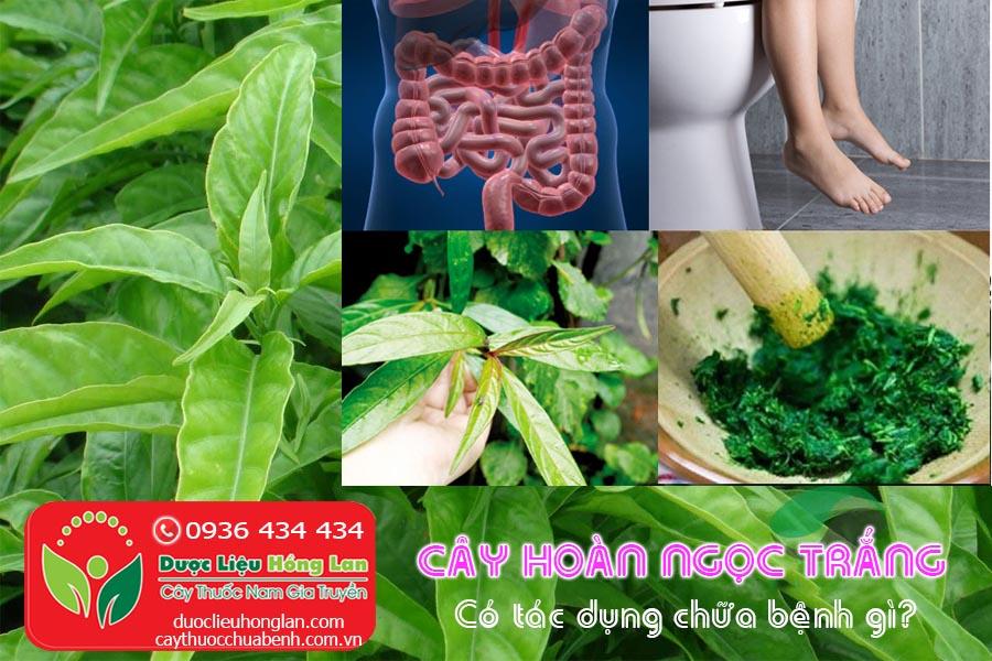CAY-HOAN-NGOC-TRANG-CO-TAC-UNG-CHUA-BENH-GI-CTY-DUOC-LIEU-HONG-LAN