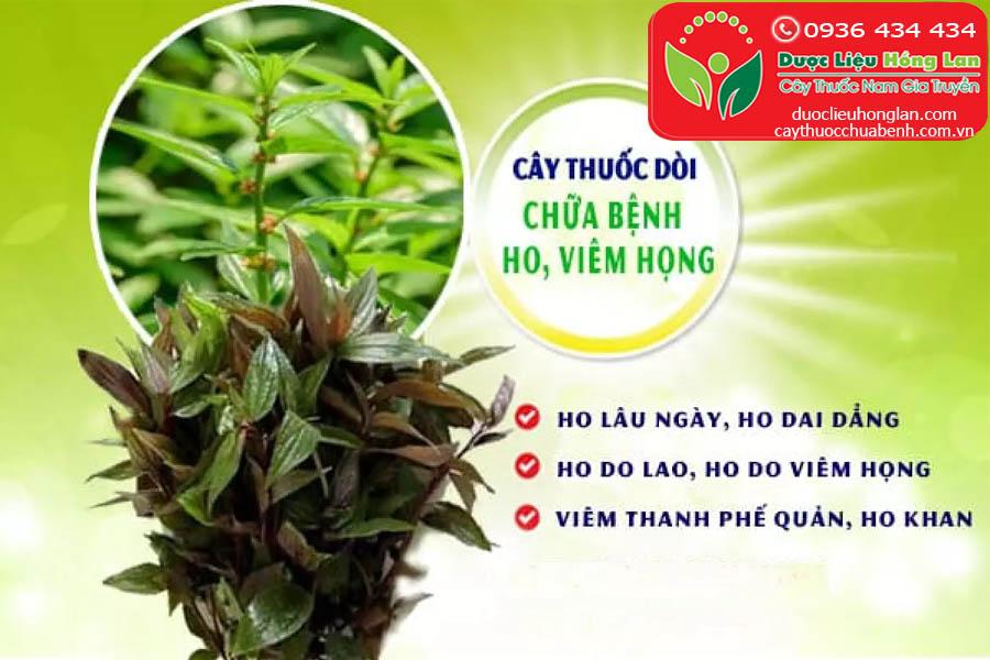 CONG-DUNG-VA-TAC-DUNG-CHUA-BENH-CAY-DOI-BO-MAM-CTY-DUOC-LIEU-HONG-LAN