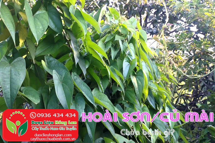 HOAI-SON-CU-MAI-CHUA-BENH-GI-CTY-DUOC-LIEU-HONG-LAN