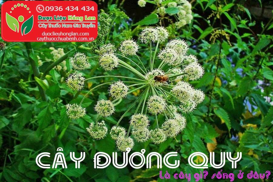 CAY-SAM-DUONG-QUY-LA-CAY-GI-SONG-O-DAU-CTY-DUOC-LIEU-HONG-LAN