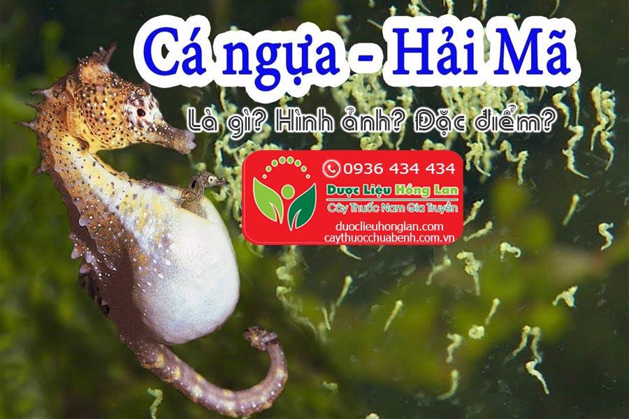 CA-NGUA-HAI-MA-LA-GI-HINH-ANH-DAC-DIEM-CTY-DUOC-LIEU-HONG-LAN