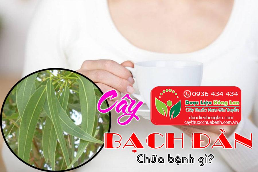 CAY-BACH-DAN-CHUA-BENH-GI-CTY-DUOC-LIEU-HONG-LAN