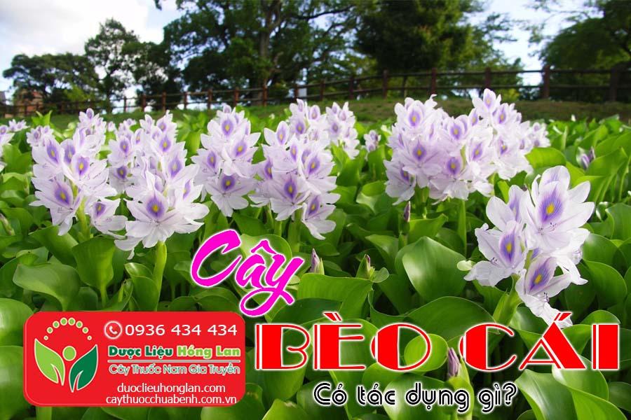 CAY-BEO-CAI-CO-TAC-DUNG-GI-CTY-DUOC-LIEU-HONG-LAN