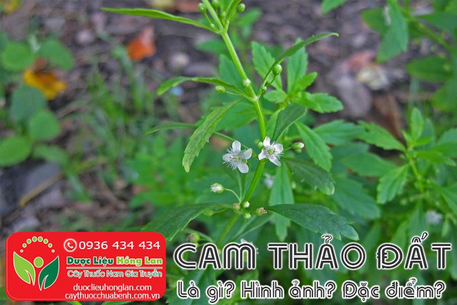 CAY-CAM-THAO-DAT-CAM-THAO-NAM-LA-GI-HINH-ANH-SONG-O-DAU-CTY-DUOC-LIEU-HONG-LAN