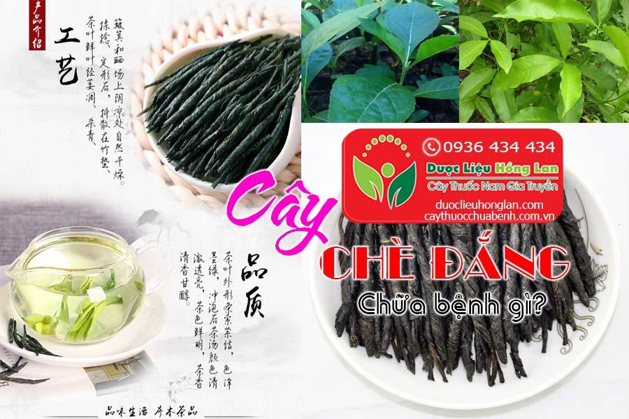 CAY-CHE-DANG-CHUA-BENH-GI-CTY-DUOC-LIEU-HONG-LAN