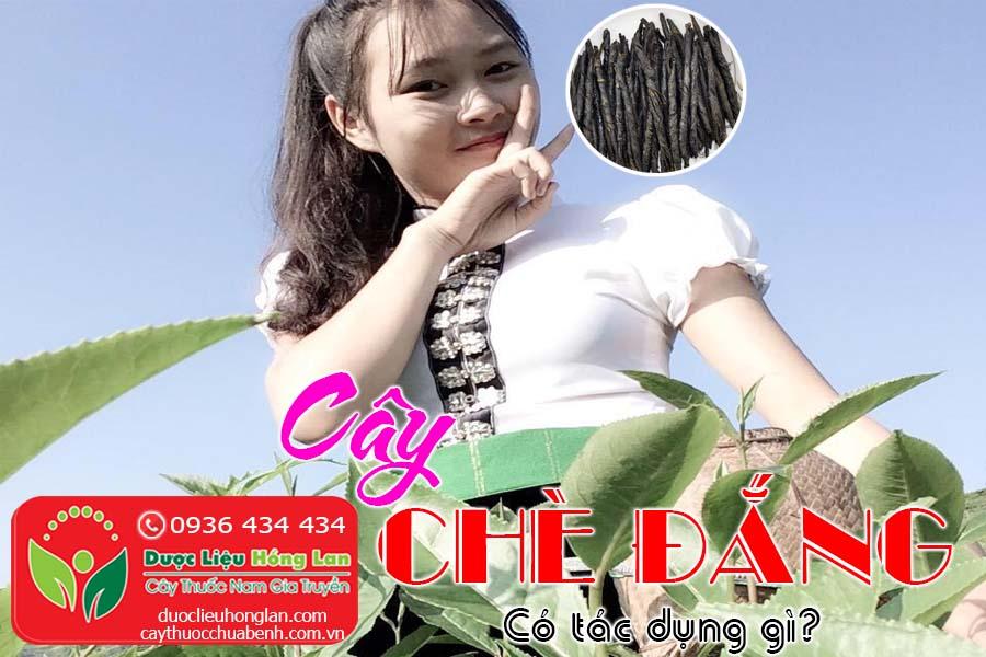 CAY-CHE-DANG-CO-TAC-DUNG-GI-CTY-DUOC-LIEU-HONG-LAN