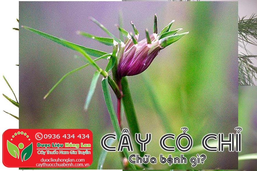 CAY-CO-CHI-CHUA-BENH-GI-CTY-DUOC-LIEU-HONG-LAN