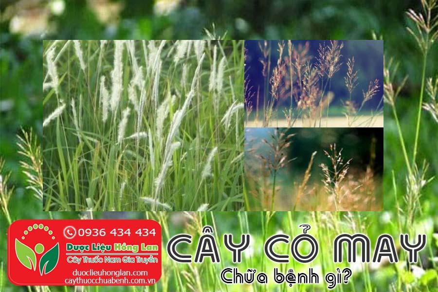 CAY-CO-MAY-CHUA-BENH-GI-CTY-DUOC-LIEU-HONG-LAN