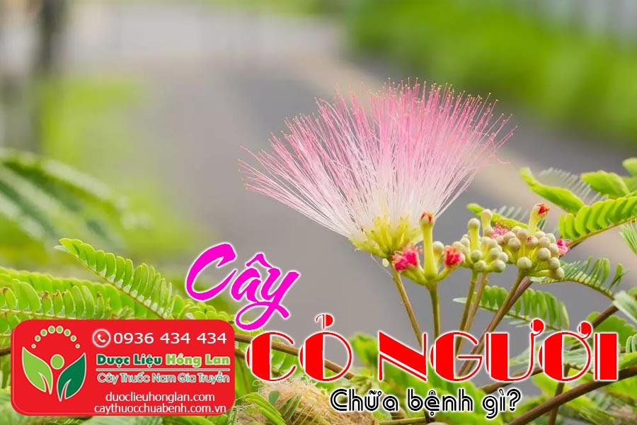 CAY-CO-NGUOI-TRINH-NU-MAC-CO-XAU-HO-CHUA-BENH-GI-CTY-DUOC-LIEU-HONG-LAN