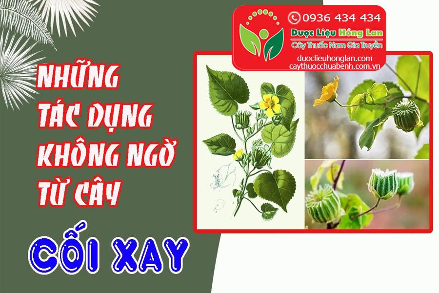 CAY-COI-XAY-CHUA-BENH-GI-CTY-DUOC-LIEU-HONG-LAN