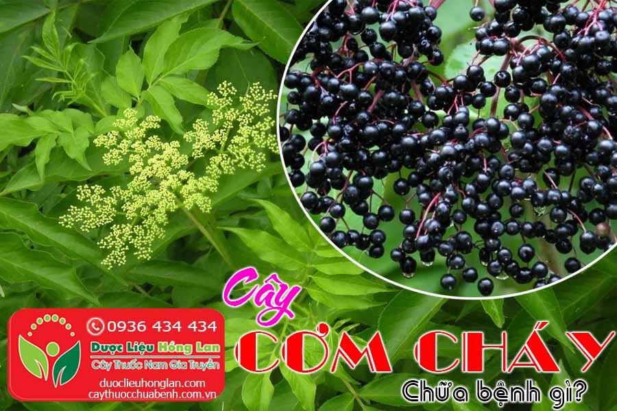 CAY-COM-CHAY-CHUA-BENH-GI-CTY-DUOC-LIEU-HONG-LAN