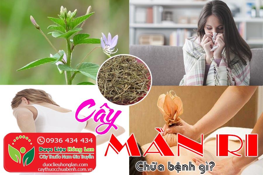 CAY-MAN-RI-CHUA-BENH-GI-CTY-DUOC-LIEU-HONG-LAN