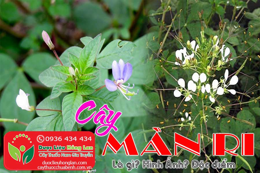 CAY-MAN-RI-LA-GI-HINH-ANH-DAC-DIEM-CTY-DUOC-LIEU-HONG-LAN
