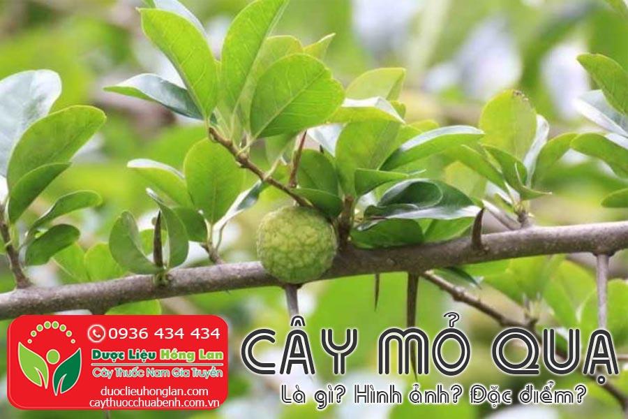 CAY-MO-QUA-LA-GI-HINH-ANH-DAC-DIEM-SONG-O-DAU-CTY-DUOC-LIEU-HONG-LAN
