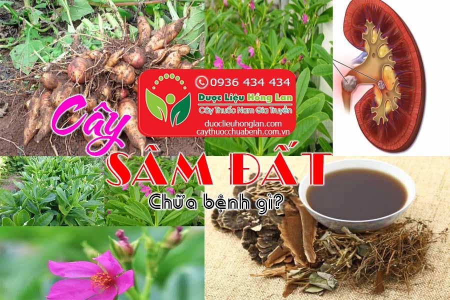 CAY-SAM-DAT-CHUA-BENH-GI-CTY-DUOC-LIEU-HONG-LAN