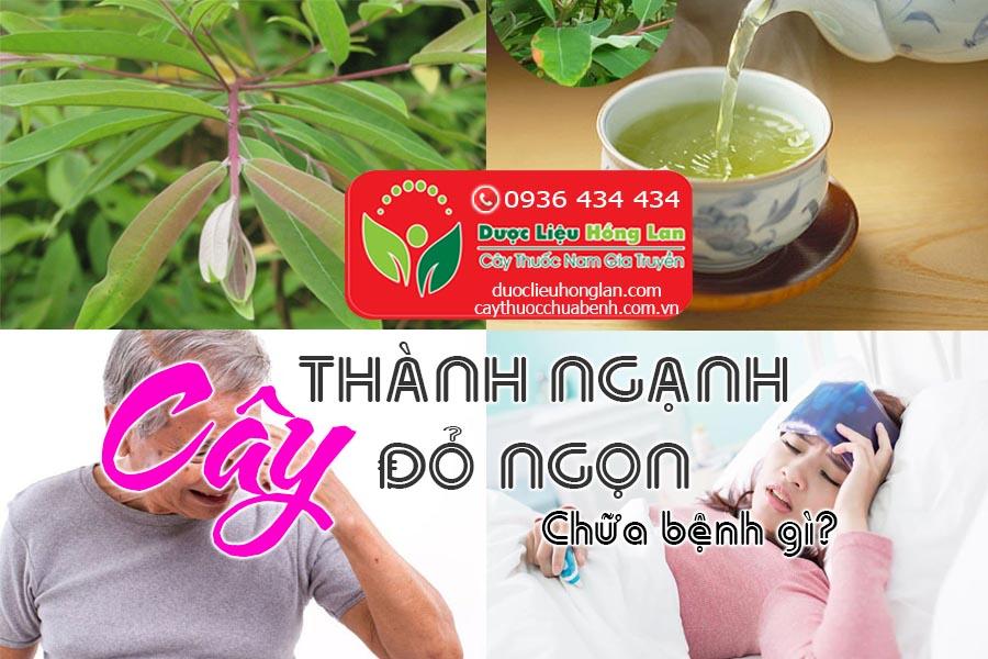 CAY-THANH-NGANH-CAY-DO-NGON-CHUA-BENH-GI-CTY-DUOC-LIEU-HONG-LAN