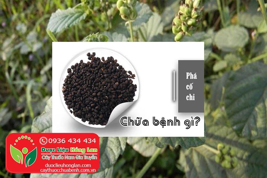 CAY-THUOC-PHA-CO-CHI-CHUA-BENH-GI-CTY-DUOC-LIEU-HONG-LAN
