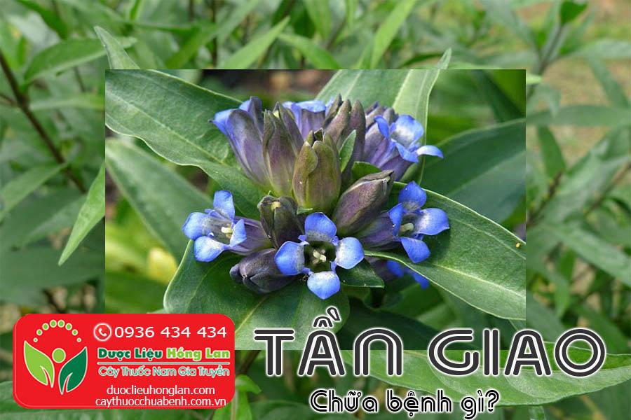 CAY-THUOC-TAN-GIAO-CHUA-BENH-GI-CTY-DUOC-LIEU-HONG-LAN