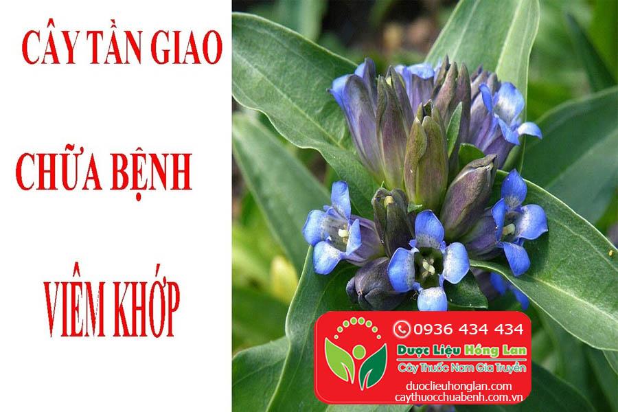 CAY-THUOC-TAN-GIAO-CHUA-BENH-VIEM-KHOP-CTY-DUOC-LIEU-HONG-LAN