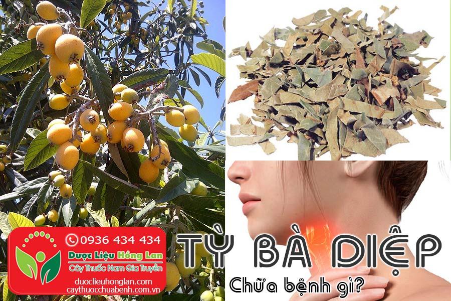 CAY-TY-BA-DIEP-CHUA-BENH-GI-CTY-DUOC-LIEU-HONG-LAN