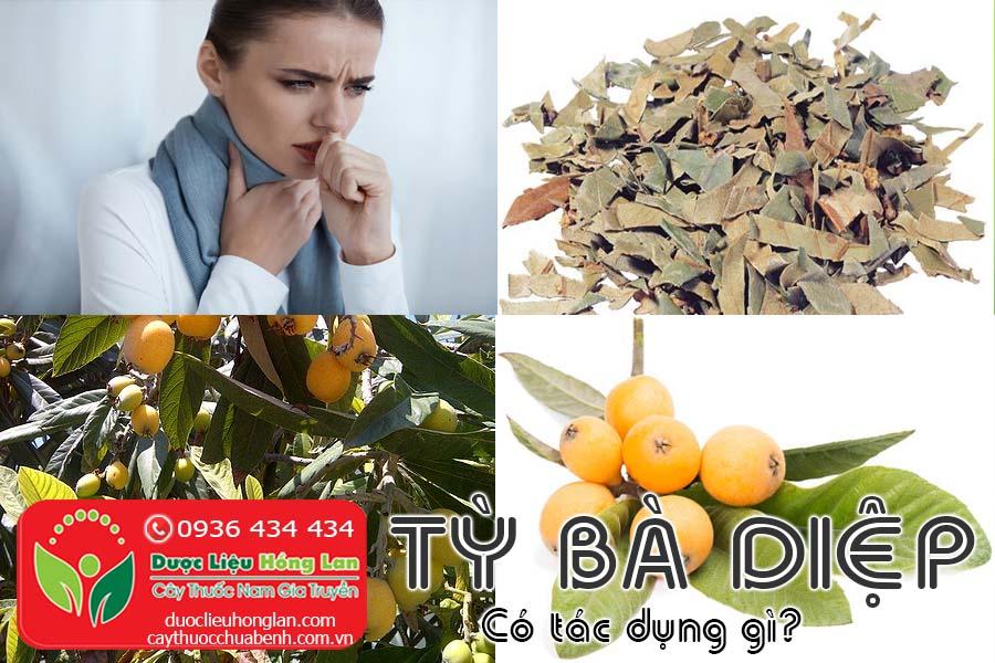 CAY-TY-BA-DIEP-CO-TAC-DUNG-GI-CTY-DUOC-LIEU-HONG-LAN