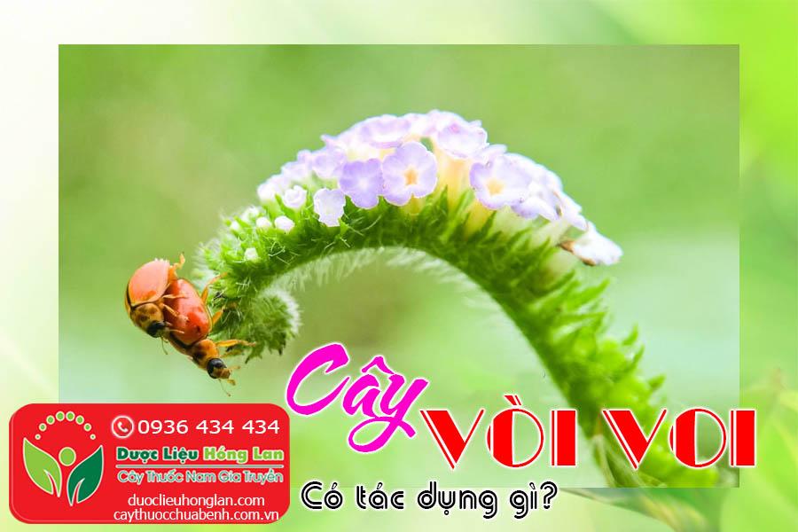 CAY-VOI-VOI-CO-TAC-DUNG-GI-CTY-DUOC-LIEU-HONG-LAN
