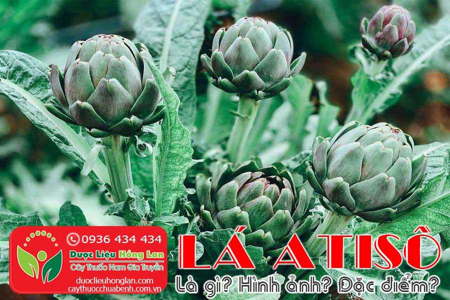 LA-ATISO-LA-GI-HINH-ANH-DAC-DIEM-SONG-O-DAU-CTY-DUOC-LIEU-HONG-LAN