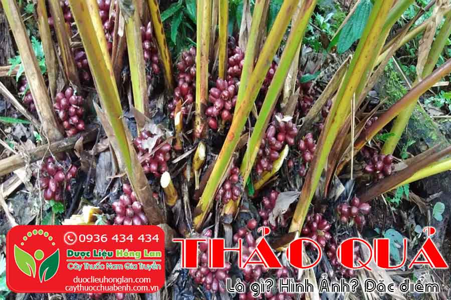THAO-QUA-LA-GI-HINH-ANH-DAC-DIEM-CTY-DUOC-LIEU-HONG-LAN